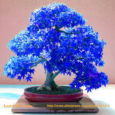 find more bonsai information about 100 real japanese ghost blue