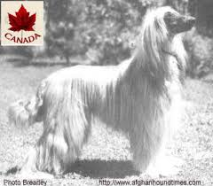 afghan hound breeders new york our afghans and afghan hound times canadian afghan hound breed
