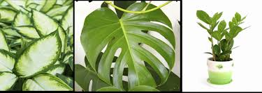 the is another easy indoor plant much same as monsteria in best