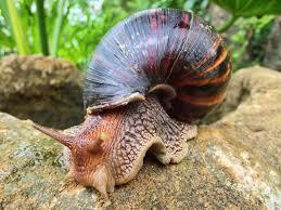 the emergence of snail farming in east africa u2013 ayiba magazine