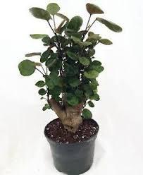 Indoor Fragrant Plants - indoor plants ebay