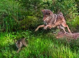 Coyote In My Backyard Welcome