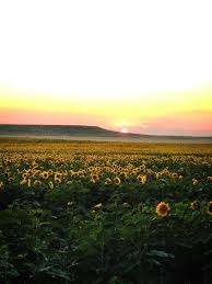 South Dakota adventure travel companies images South dakota sunflower fields favorite places spaces jpg