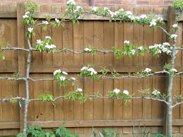 fruit trees for small gardens tizzard garden design