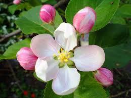 apple tree flower pixdaus