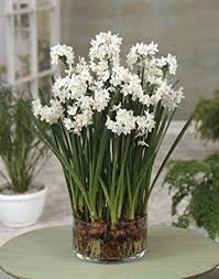 paperwhite flowers 10 ziva paperwhites flower bulbs 14 15cm bulbs
