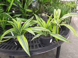 Tropical Plants For Garden - add color to your garden with tropical plants home garden