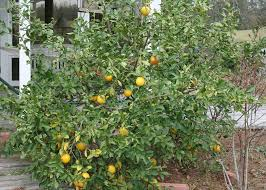 mississippi temps allow citrus trees to succeed mississippi
