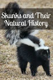best 25 skunk trap ideas on pinterest what do skunks eat