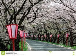 romantic pink cherry tree sakura blossoms and japanese style