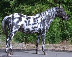 caballo appaloosa moteado viqui pinterest north american