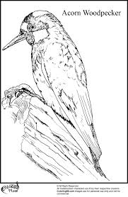 woodpecker coloring pages minister coloring