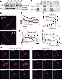 functional assembly of kv7 1 kv7 5 channels with emerging