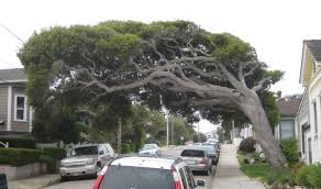 interesting pacific grove tree later on