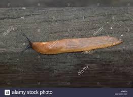 Types Of Garden Slugs Orange Slug Stock Photos U0026 Orange Slug Stock Images Alamy