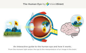 The Anatomy And Physiology Of The Eye The Human Eye
