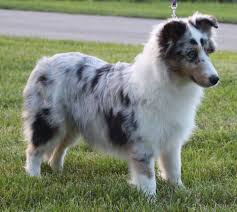 sheltie x australian shepherd woodhue shelties home facebook