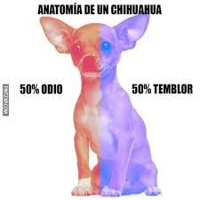 Memes De Chihuahua - de un chihuahua