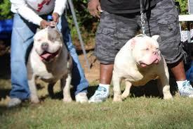 american pitbull terrier hoobly xxl pitbull puppies extra thick in hoobly classifieds