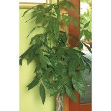 shop 1 75 gallon pachira money tree l20962hp at lowes