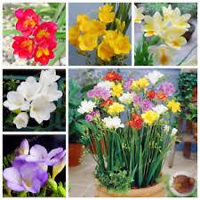 freesia flower freesia bulbs freesia flower flowers orchids 10 pcs beautiful