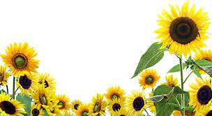 foto wallpaper bunga matahari sunflower wallpapers group 75
