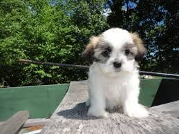 bichon frise puppy 8 weeks 266 best puppies images on pinterest beautiful puppies and