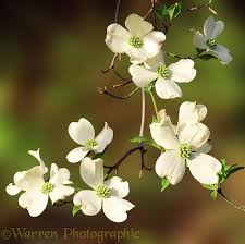 dogwood flowers dogwood flowers photo wp01170