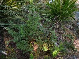 australian native plants for rock gardens video and photos australian native ferns palms and cycads gardening with angus