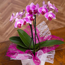 orchid in mini crate phalaenopsis orchid plants bunches co uk