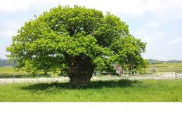 european tree of the year the brimmon oak
