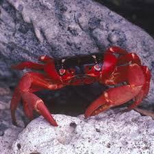 christmas island red crab national geographic