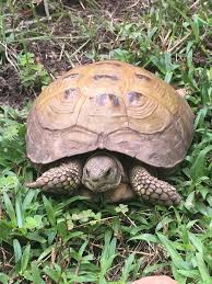 do you know this tortoise found on lady u0027s island she u0027s trying to