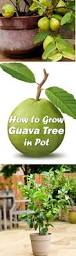 Patio Fruit Trees Uk by Growing Guava Tree In Container Guava Tree Delicious Fruit And