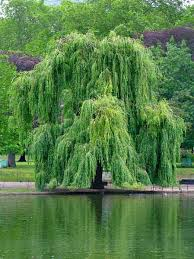 willow jpg