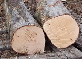 eucalyptus wood logs and keruing wood logs for sale buy birch
