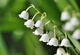 of the valley flower birth month flower of may the of the valley