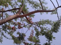 garden care simplified gulmohar tree at full bloom feng shui