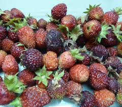 trade winds fruit fragaria moschata musk strawberry 2 00