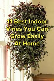 best indoor house plant 11 best indoor vines and climbers you can grow easily in your home