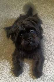 affenpinscher vs yorkshire terrier puginese dog breed information and picturess