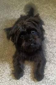 affenpinscher with underbite puginese dog breed information and picturess