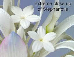stephanotis flower stephanotis cutters world of sugar