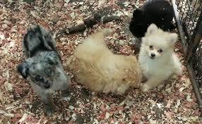 australian shepherd x pomeranian for sale aussi em poms home
