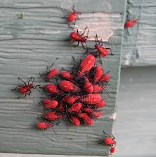 Pictures Of Tiny Red Bugs by Flora Montana May 2013