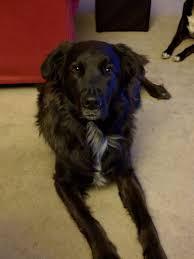 belgian sheepdog breeders ontario belgian sheepdog groenendael u003e most people u0027s poverty dogs