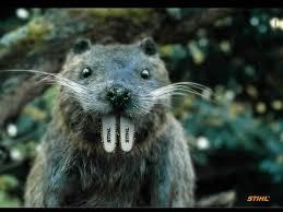 Rhode Island wild animals images Ri beaver removal rhode island wildlife management jpg