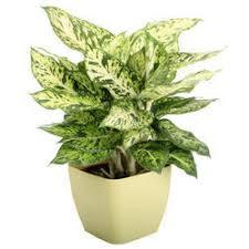decorative indoor plants decorative indoor plants manufacturer from coimbatore