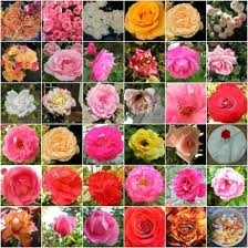 roses colors meaning of colors significance and symbolism of roses