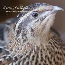 urban quail keeping home facebook